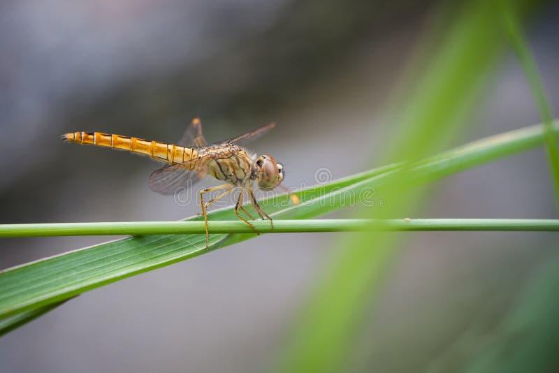 Cedzakowy dragonfly (Sympetrum sp.) zdjęcie stock