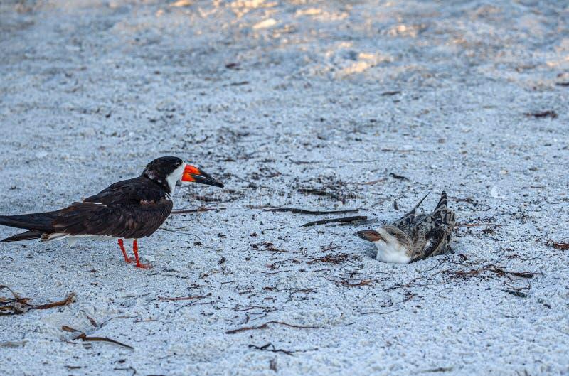 Cedzakowy kurczątko Daje Cedzakowej Matecznej postawie, Indiańska skały plaża, Floryda fotografia stock