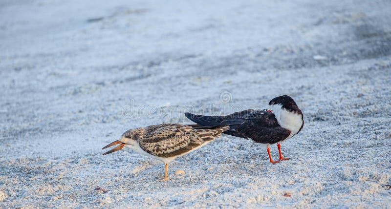 Cedzakowy kurczątko Ignoruje Dorosłą Cedzakową, Indiańską skały plażą, Floryda fotografia stock