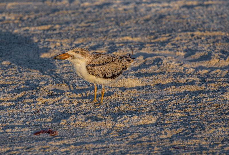 Cedzakowy kurczątko na Indiańskiej skały plaży, Floryda zdjęcie royalty free