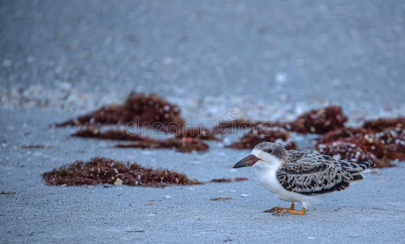 Cedzakowy kurczątko na Indiańskiej skały plaży, Floryda zdjęcia stock