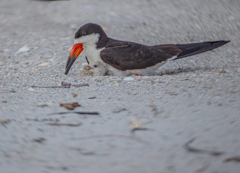 Cedzakowy kurczątko w gniazdeczku z Dorosłą Cedzakową, Indiańską skały plażą, Floryda fotografia stock