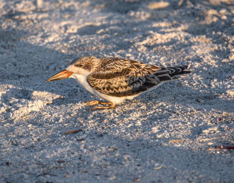 Cedzakowy kurczątko z Stronniczo Zamkniętymi oczami na Indiańskiej skały plaży, Floryda fotografia royalty free