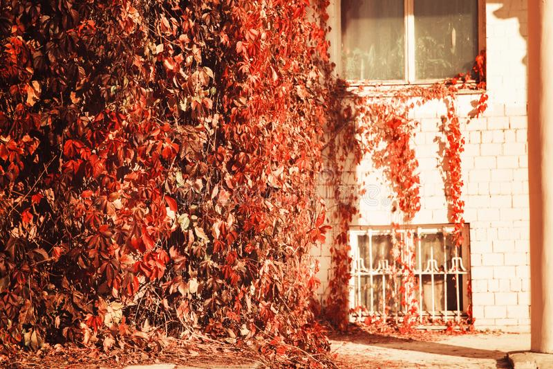 Ceglany dom z Windows obramiał kędzierzawym jaskrawym krzakiem z udziałami liść jesieni ciepła Pogodna pogoda fotografia royalty free