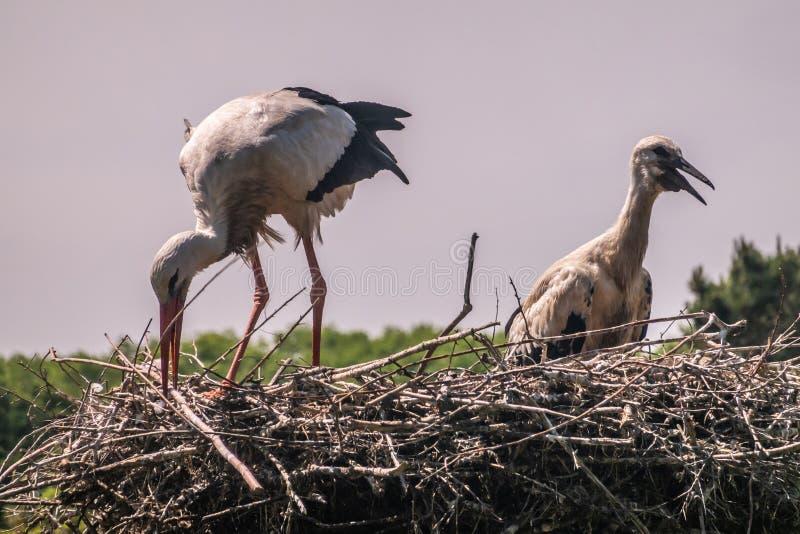 Cegonha adulta que ajusta o ninho mais o pintainho no refúgio do pássaro de Zwin, Knokke-assalto, Flanders, Bélgica imagens de stock royalty free