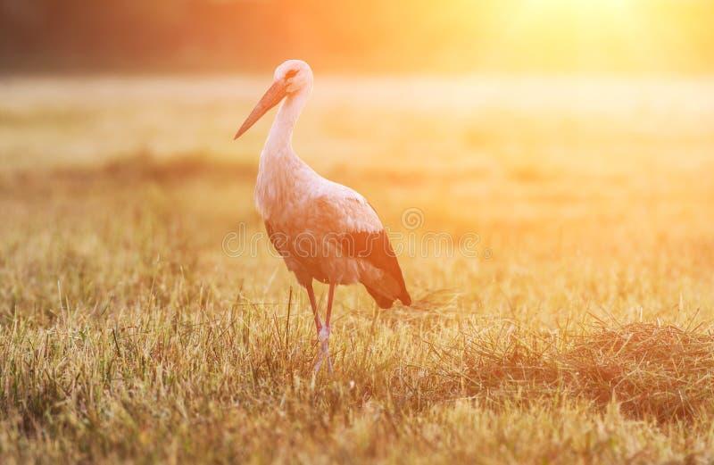 Cegonha branca do único pássaro no campo na luz solar imagens de stock