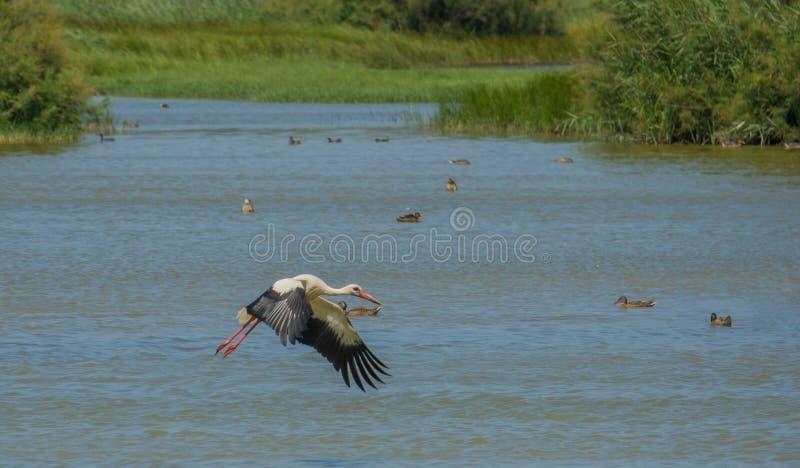 Cegonha branca em voo sobre a lagoa imagem de stock