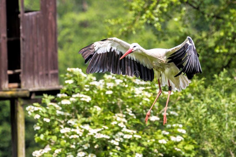 Cegonha branca europeia de voo, ciconia do Ciconia em um parque natural alem?o imagens de stock royalty free