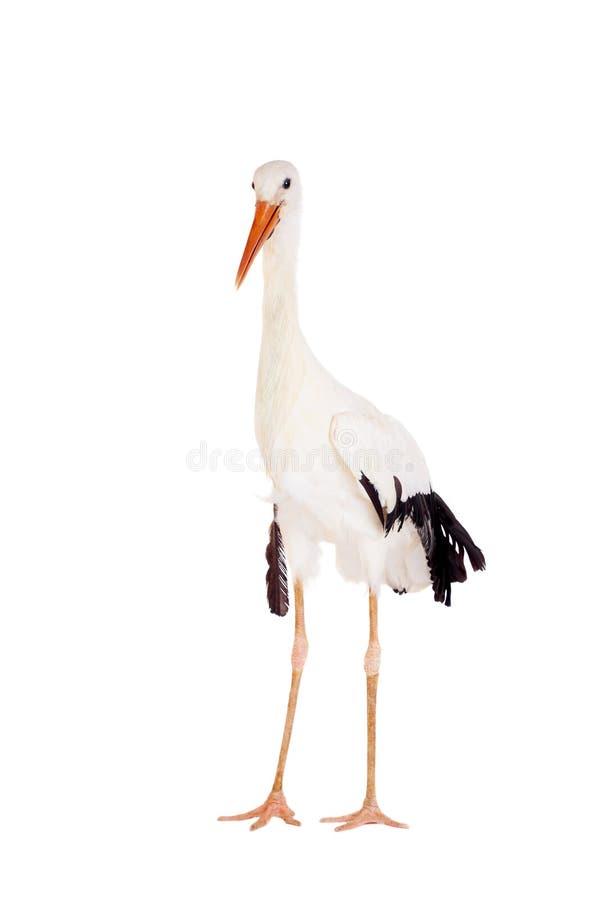Cegonha branca no branco foto de stock royalty free