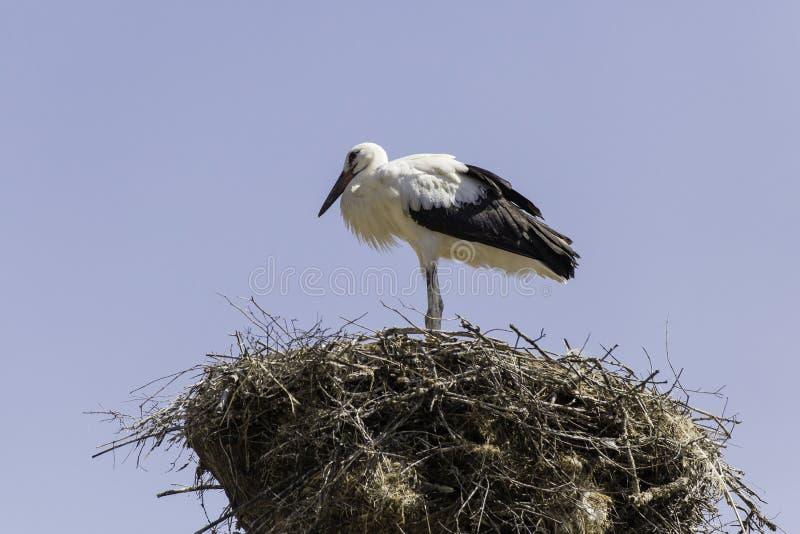 Cegonha branca no ninho imagem de stock