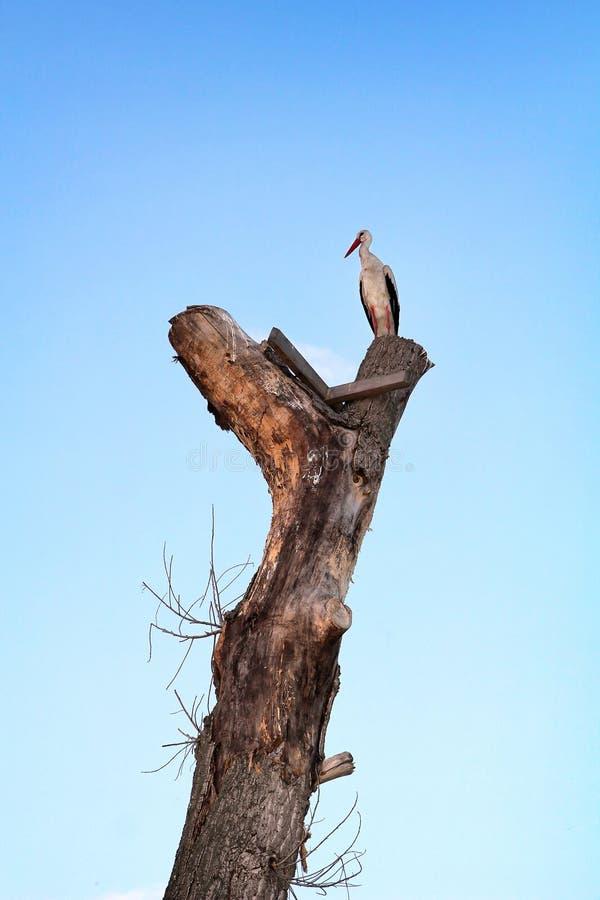 Cegonha branca que senta-se em uma árvore alta do tronco fotografia de stock royalty free