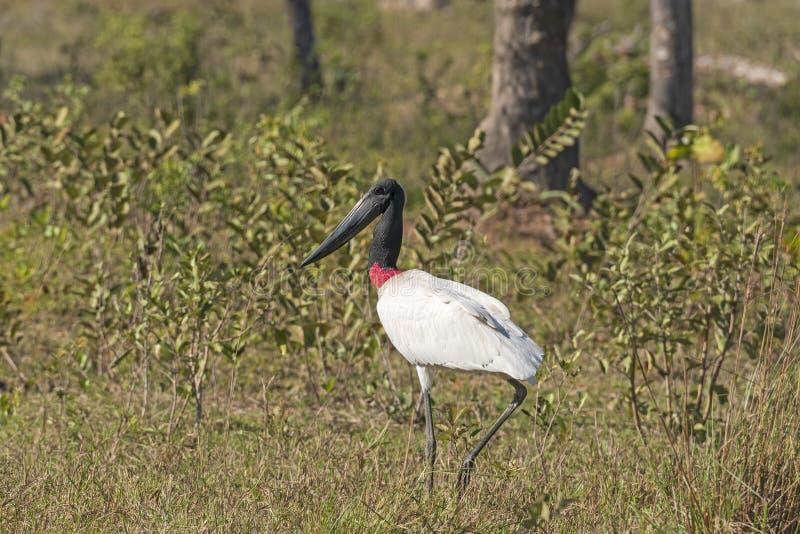 Cegonha de Jabiru que anda no Pantanal imagens de stock royalty free