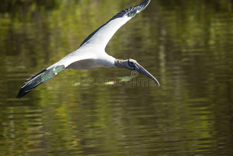 Cegonha de madeira que voa sobre a água de um pântano em Florida fotografia de stock royalty free