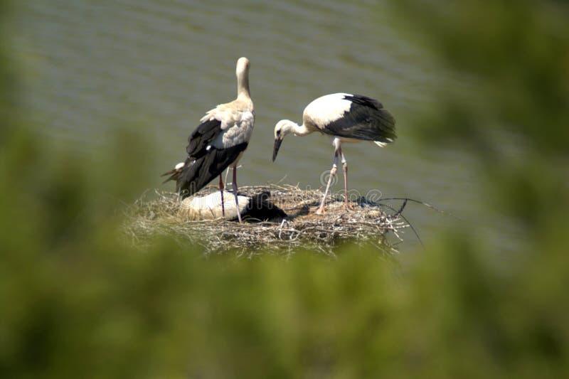 A cegonha oriental é um grande, pássaro branco com as penas pretas da asa na família da cegonha fotografia de stock