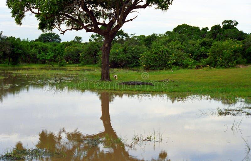 Cegonha pintada e um crocodilo do pântano, parque nacional ocidental de Yala, Sênior imagem de stock royalty free