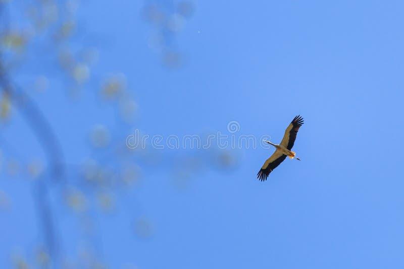 Cegonha que voa sobre árvores fotografia de stock