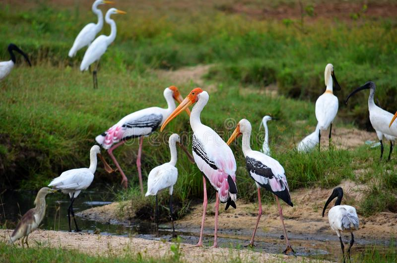Cegonhas coloridas, Srí Lanka foto de stock