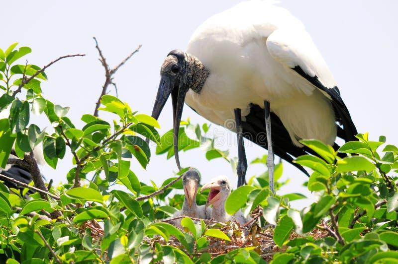 Cegonhas de madeira brancas altas no ninho, Florida foto de stock royalty free