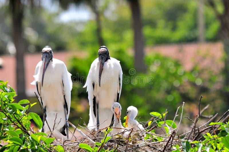 Cegonhas de madeira brancas no ninho nos pantanais fotos de stock royalty free