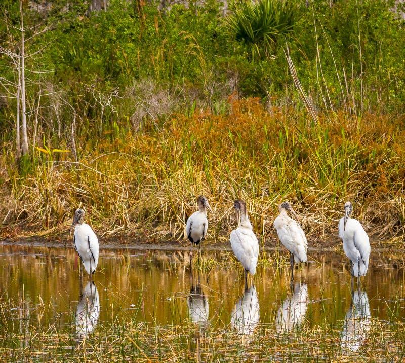 Cegonhas de madeira refletindo em uma lagoa de Florida foto de stock royalty free