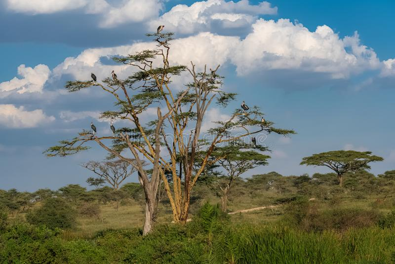 Cegonhas de marabu empoleiradas em uma árvore foto de stock