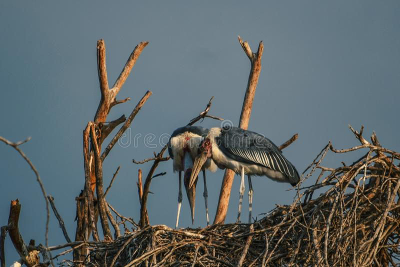cegonhas de marabu no lago Naivasha fotos de stock