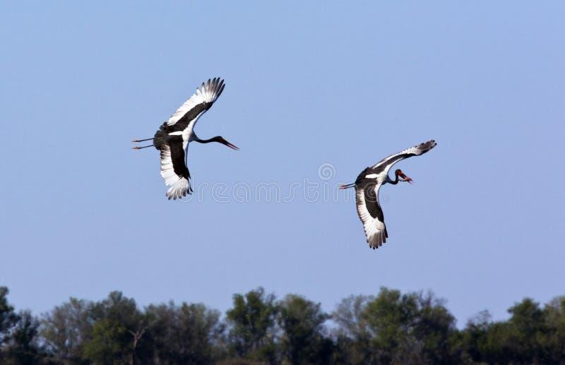 Cegonhas de Saddlebilled - Botswana foto de stock