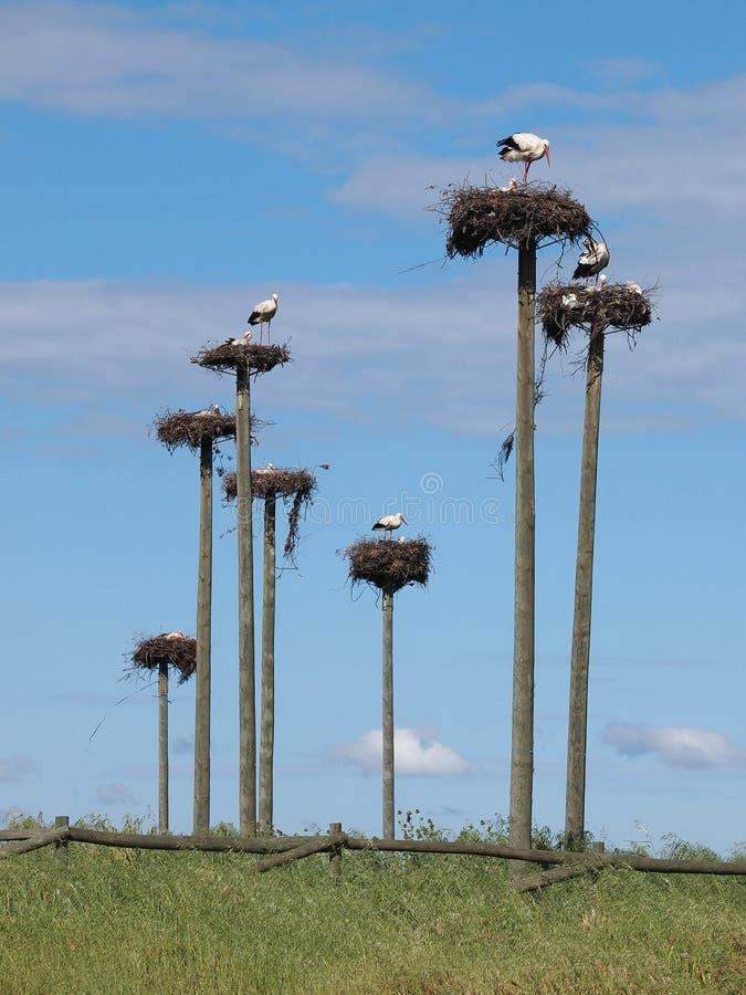 Cegonhas em Caceres, Spain fotografia de stock royalty free