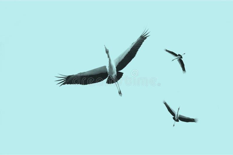 Cegonhas em voo imagem de stock royalty free