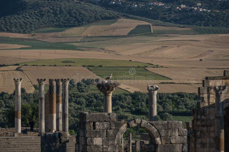 Cegonhas no ninho na parte superior da coluna Templo de Capitoline, archaeologi foto de stock royalty free