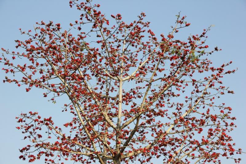 Ceiba arancio del Bombax del fiore o fiore del cotone di seta immagine stock libera da diritti