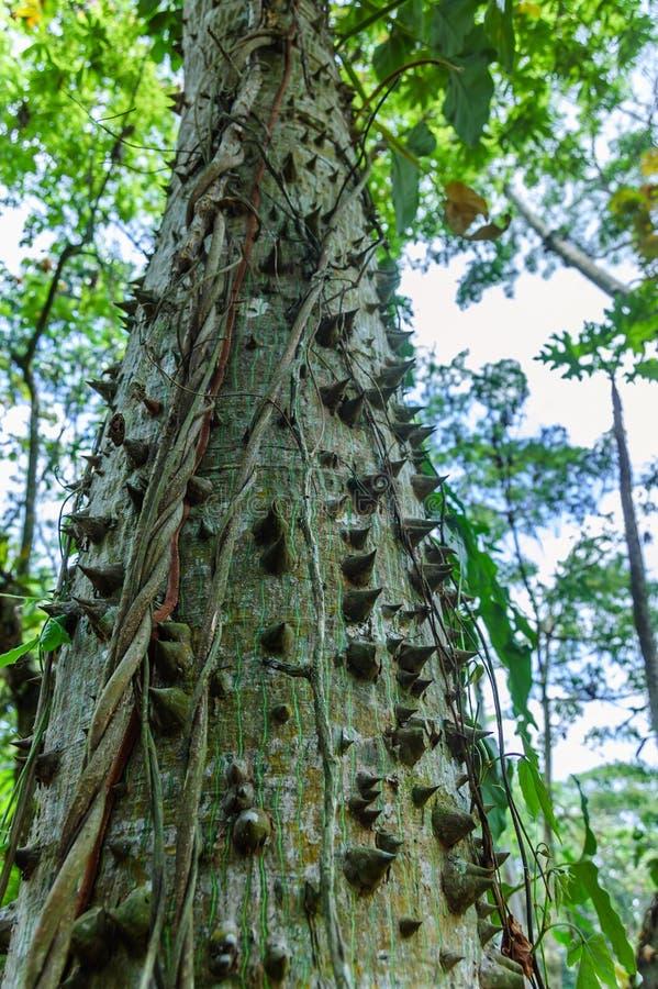 Ceiba or kapok tree (Ceiba Pentandra), Guatemala. Central America. Thorny trunk of young Ceiba tree, the national tree of Guatemala & most sacred royalty free stock image