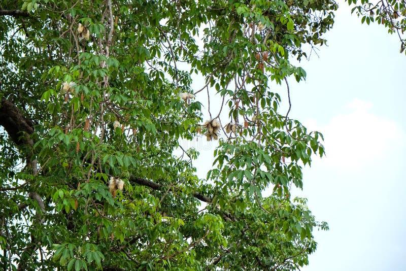 Ceiba pentandra or white silk cotton tree royalty free stock photo