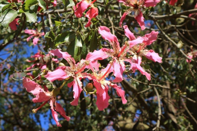 Ceiba rosa vibrante Speciosa o fiori di seta dell'albero del filo di seta alla luce solare di Buenos Aires, Argentina, Sudamerica immagini stock