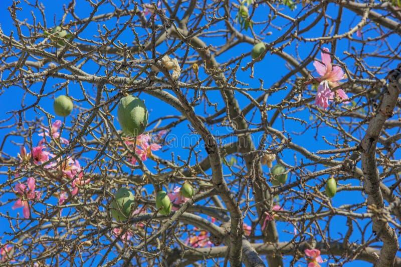 Ceiba rosa vibrante Speciosa o fiori di seta dell'albero del filo di seta alla luce solare di Buenos Aires, Argentina, Sudamerica fotografia stock