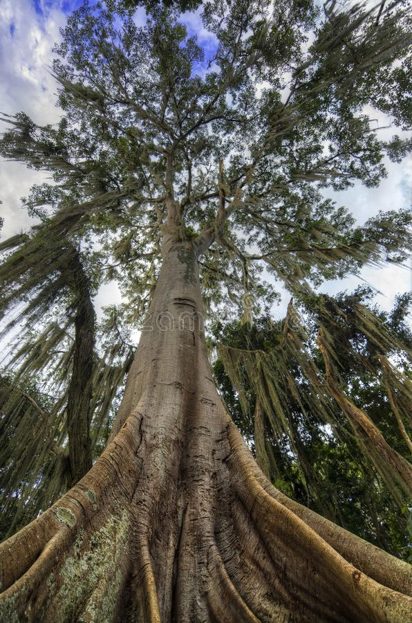 Download Ceiba Tree stock photo. Image of outdoor, america, colombia - 26503974