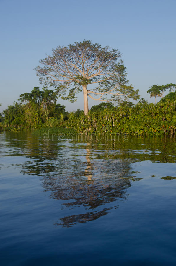 Free Ceiba Tree Beside Orinoco River. Royalty Free Stock Image - 61520346