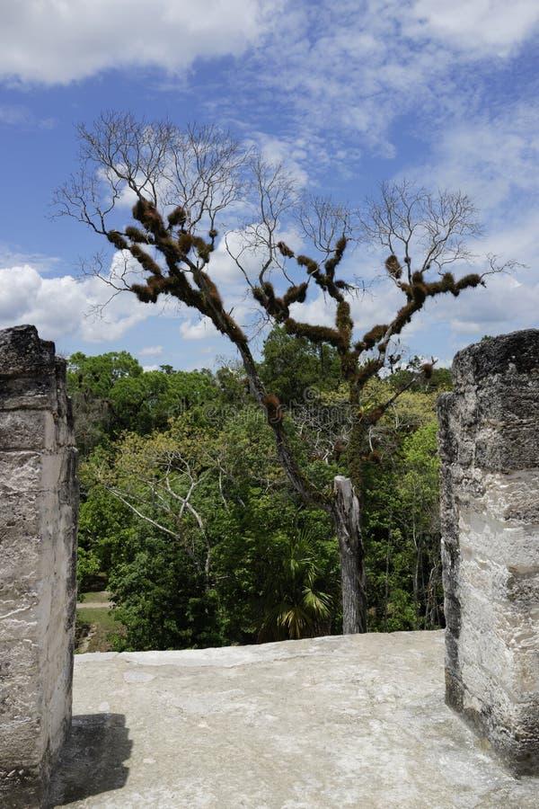 Ceibaträdet i arkeologiska Tikal parkerar arkivfoto