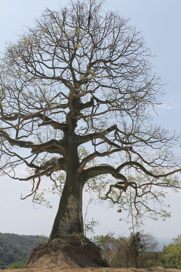 Ceibo drzewo, Bahia Ekwador fotografia stock