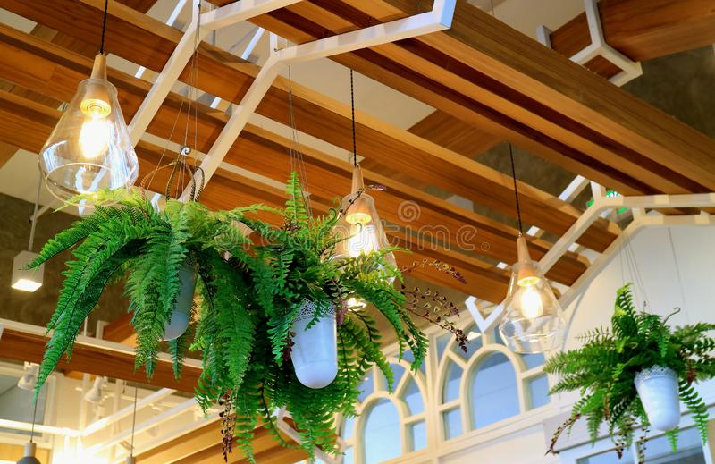 Ceiling decorated with hanging potted ferns and lighting royalty free stock images
