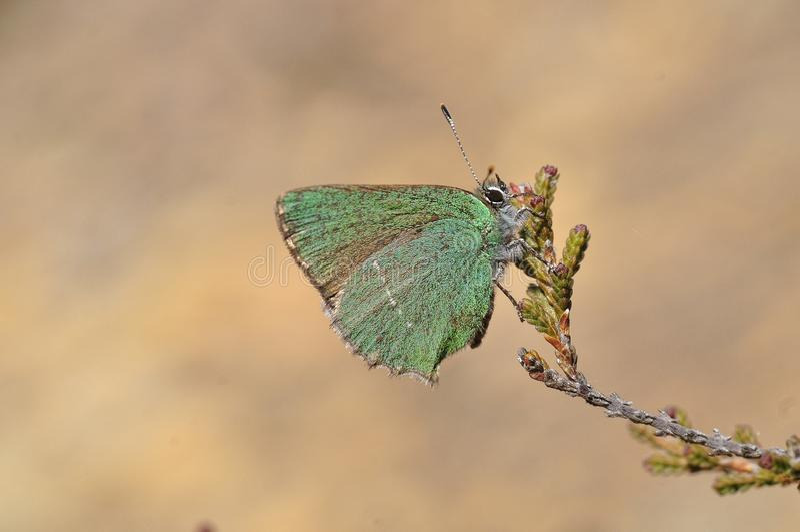 Cejialba - Callophrys Rubi fotos de stock royalty free