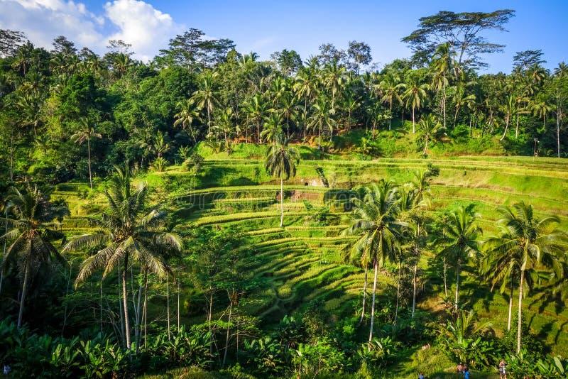 稻田米大阳台,ceking,Ubud,巴厘岛,印度尼西亚 库存照片