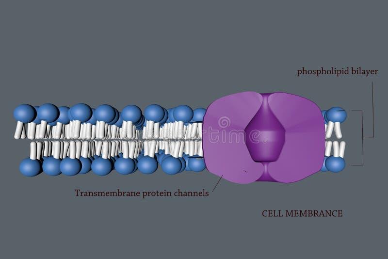 Cel membranece vector illustratie