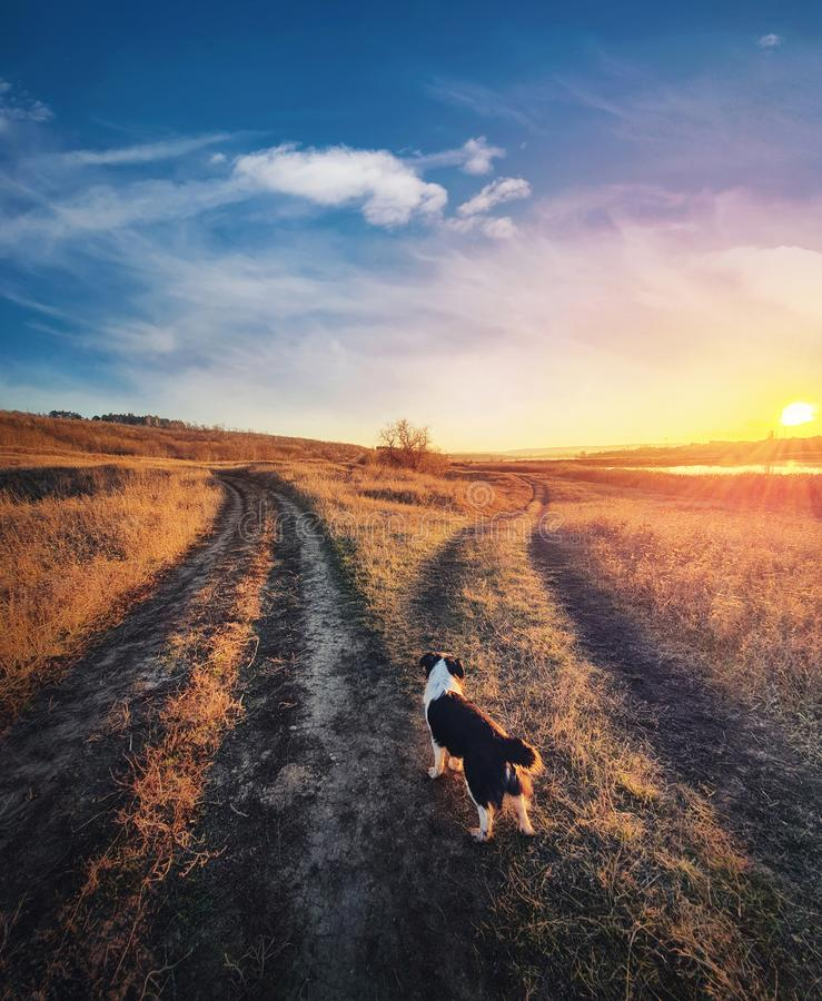 Cel psa, strzał pionowy Wątpliwe pup przed rozstającą się drogą wiejską, jesienna scena zachodu słońca Pożycie porodowe zwierząt  obraz stock