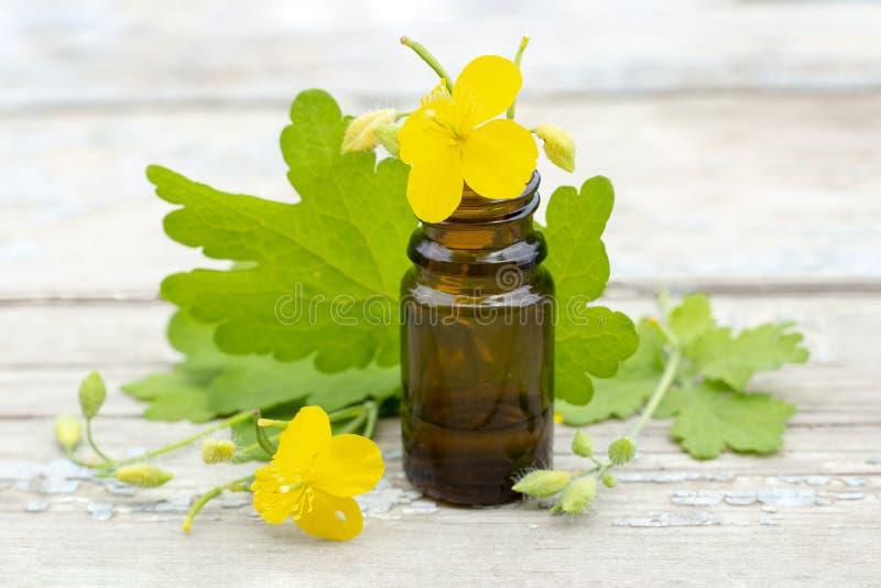 Celandine do Chelidonium celandine da erva com flores e tintura do celandine na garrafa escura fotos de stock