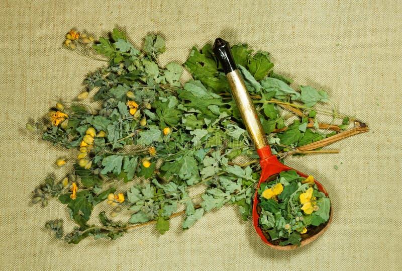 celandine Erva seca para o uso na medicina alternativa, phytotherapy fotos de stock