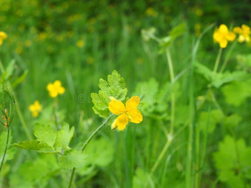 Celandine jaune, herbes photo stock