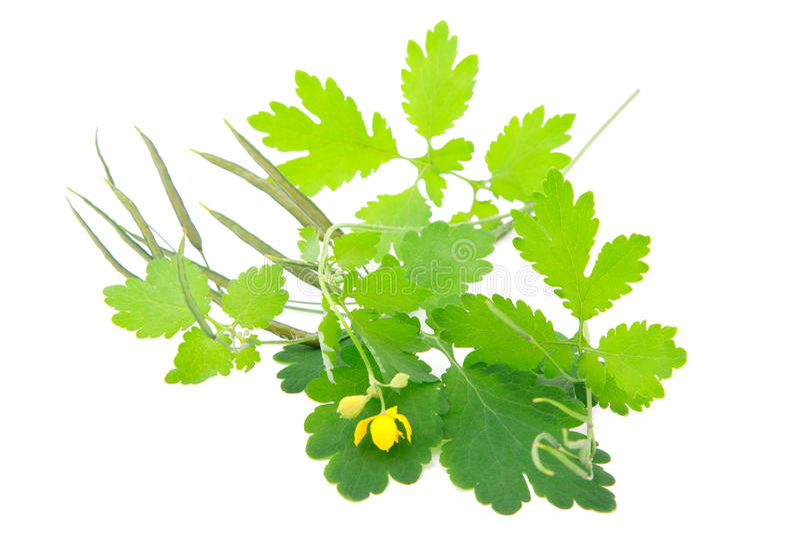 Download Celandine plant stock photo. Image of natural, vegetable - 19967756