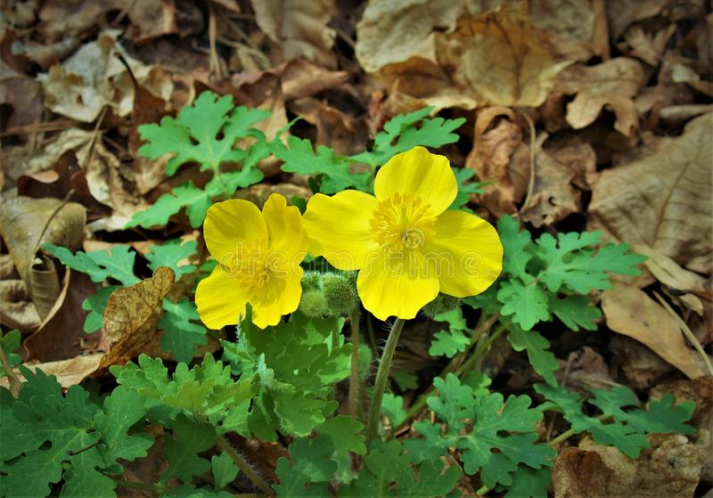 Celandine Poppy Flowers Growing Wild imagenes de archivo