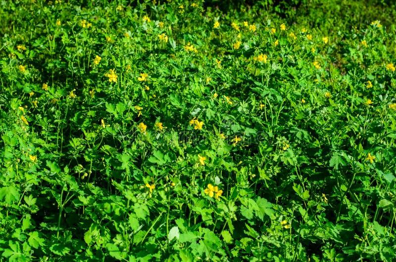 Celandine que florece en parque imagen de archivo libre de regalías
